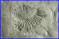 Dickinsonia unusual species RARE Precambrian Ediacaran fossil
