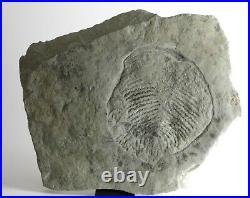 HUGE Yorgia RARE Precambrian Ediacaran (Vendian) proarticulata fossil